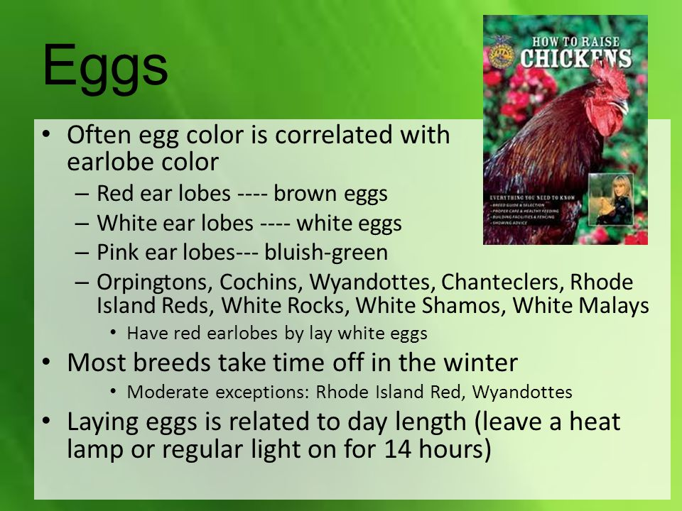 Often egg color is correlated with earlobe color – Red ear lobes ---- brown eggs – White ear lobes ---- white eggs – Pink ear lobes--- bluish-green – Orpingtons, Cochins, Wyandottes, Chanteclers, Rhode Island Reds, White Rocks, White Shamos, White Malays Have red earlobes by lay white eggs Most breeds take time off in the winter Moderate exceptions: Rhode Island Red, Wyandottes Laying eggs is related to day length (leave a heat lamp or regular light on for 14 hours) Eggs