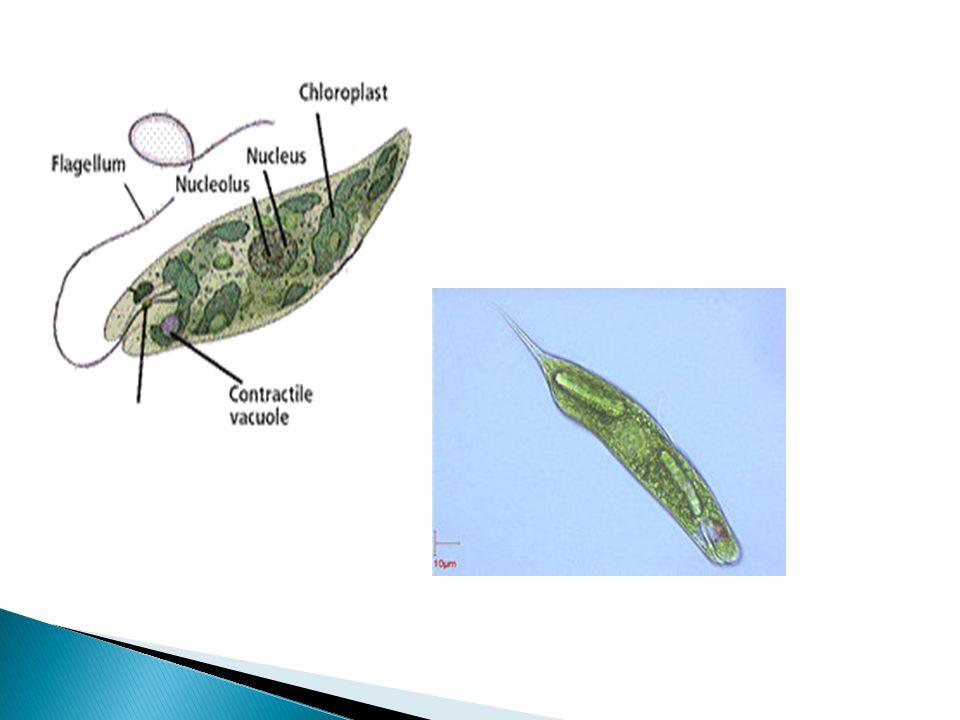 Euglena algal bloom