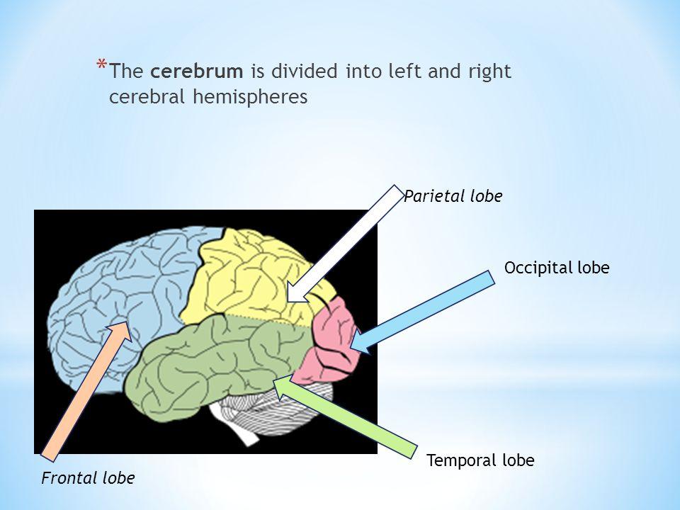 * The cerebrum is divided into left and right cerebral hemispheres Parietal lobe Frontal lobe Temporal lobe Occipital lobe