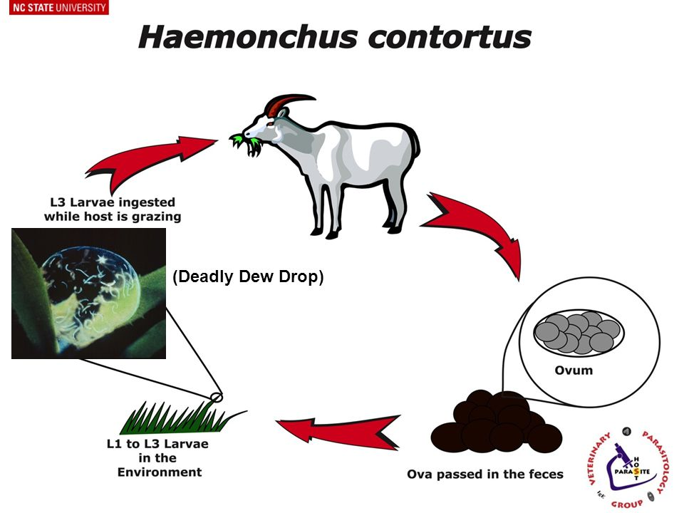 Worm Ecology On-Pasture 4.L3 (infective stage) d.