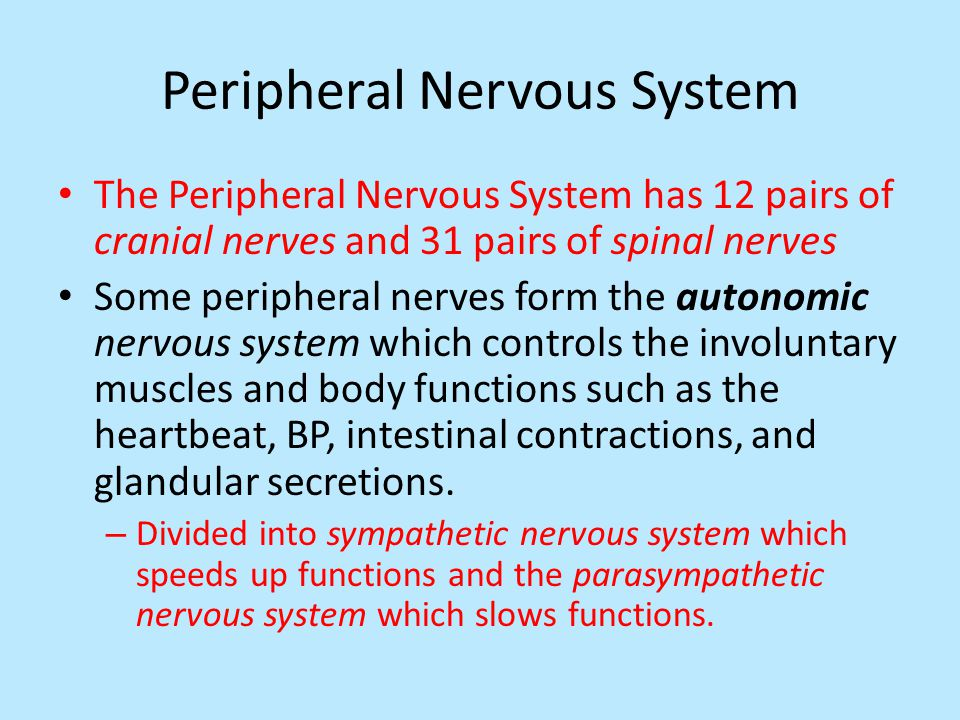 Peripheral Nervous System The Peripheral Nervous System has 12 pairs of cranial nerves and 31 pairs of spinal nerves Some peripheral nerves form the autonomic nervous system which controls the involuntary muscles and body functions such as the heartbeat, BP, intestinal contractions, and glandular secretions.