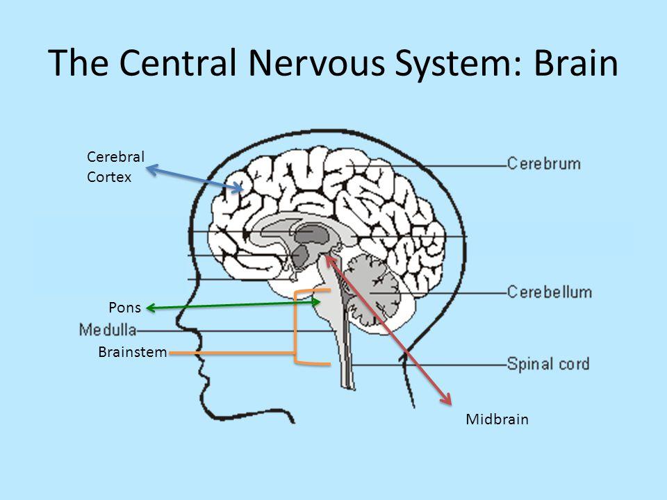 The Central Nervous System: Brain Pons Brainstem Midbrain Cerebral Cortex