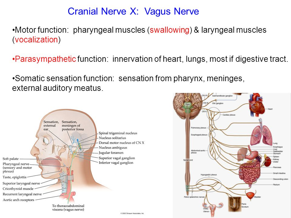 Motor function: pharyngeal muscles (swallowing) & laryngeal muscles (vocalization) Parasympathetic function: innervation of heart, lungs, most if dige