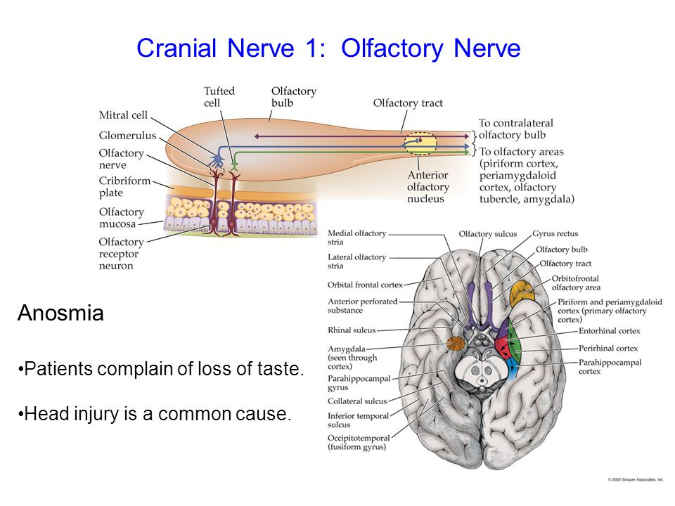 Cranial Nerve 1: Olfactory Nerve Anosmia Patients complain of loss of taste. Head injury is a common cause.