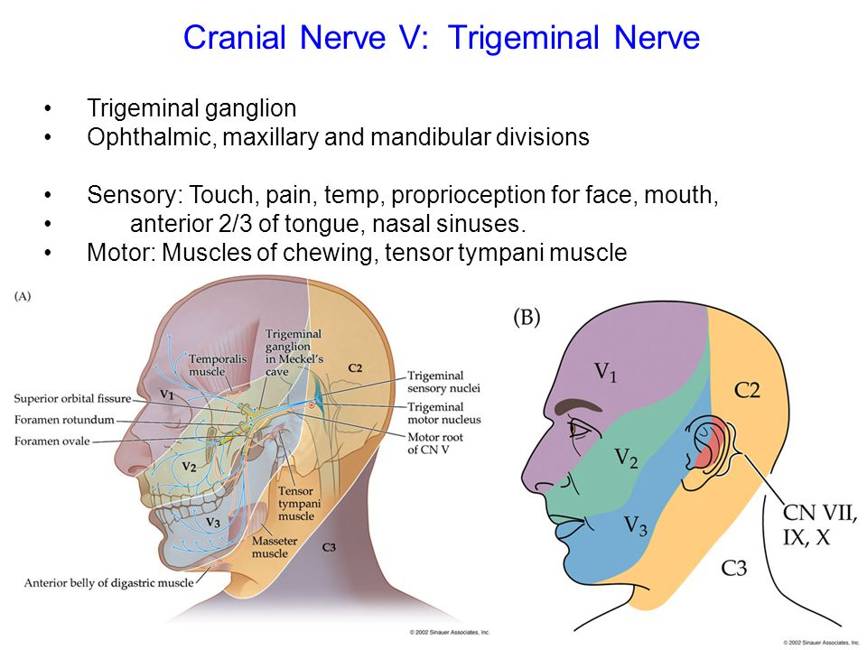 Trigeminal ganglion Ophthalmic, maxillary and mandibular divisions Sensory: Touch, pain, temp, proprioception for face, mouth, anterior 2/3 of tongue,