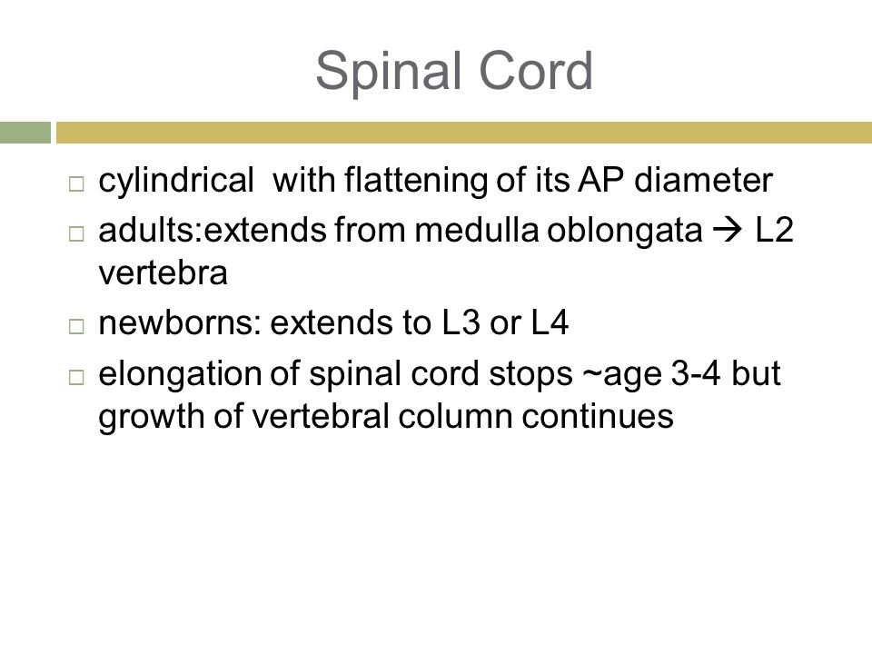 Spinal Cord  cylindrical with flattening of its AP diameter  adults:extends from medulla oblongata  L2 vertebra  newborns: extends to L3 or L4  elongation of spinal cord stops ~age 3-4 but growth of vertebral column continues