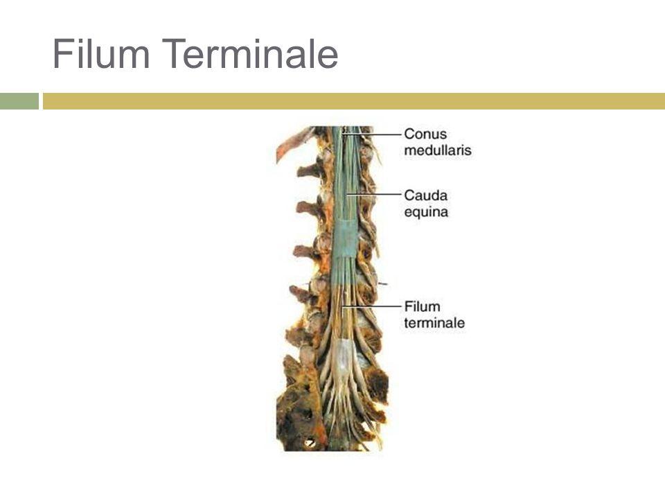 Filum Terminale