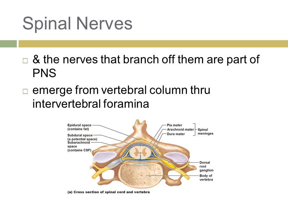 Spinal Nerves  & the nerves that branch off them are part of PNS  emerge from vertebral column thru intervertebral foramina