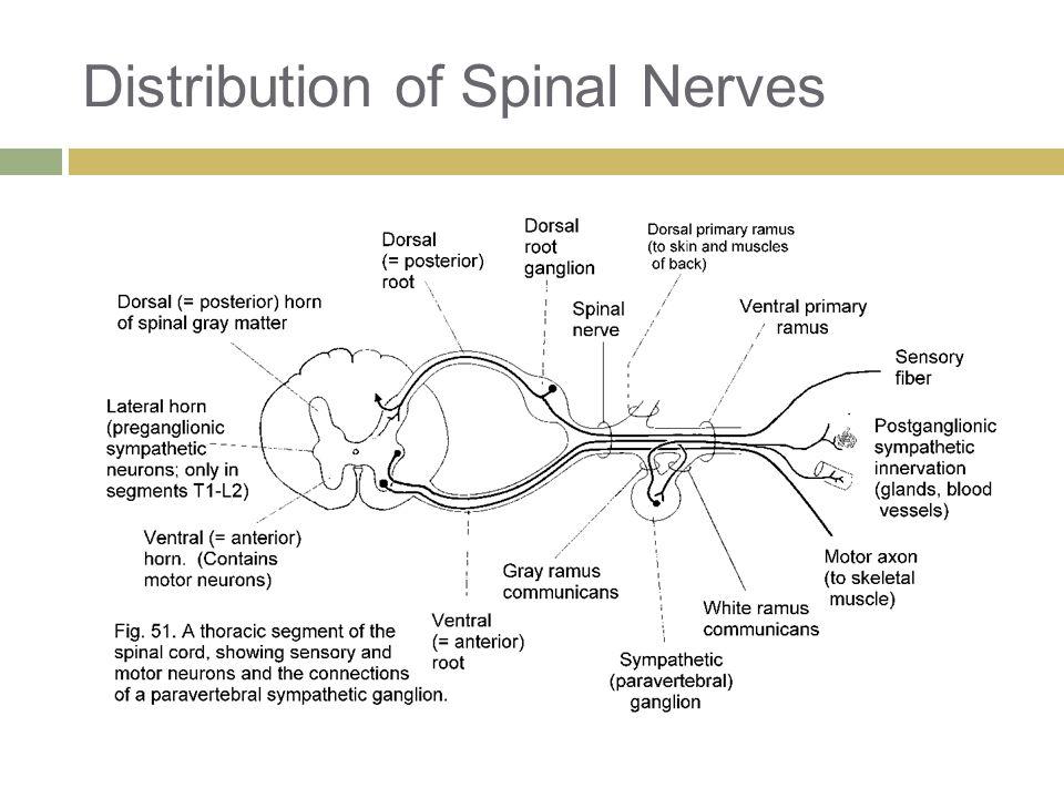 Distribution of Spinal Nerves