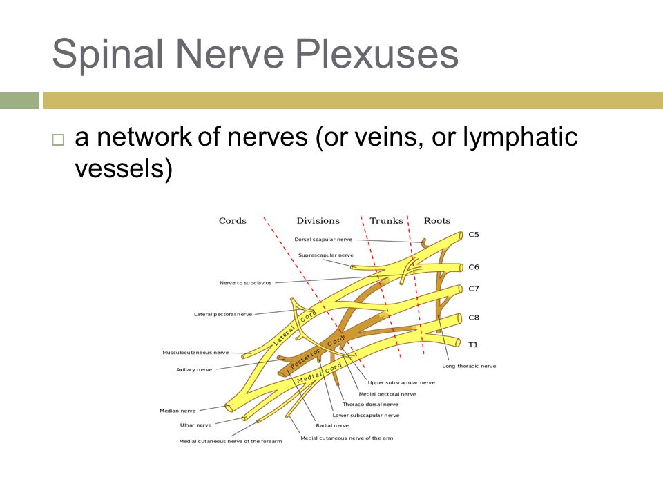 Spinal Nerve Plexuses  a network of nerves (or veins, or lymphatic vessels)