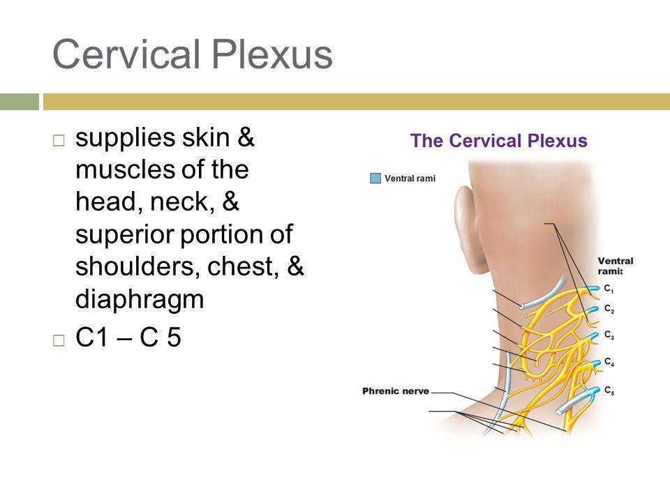 Cervical Plexus  supplies skin & muscles of the head, neck, & superior portion of shoulders, chest, & diaphragm  C1 – C 5