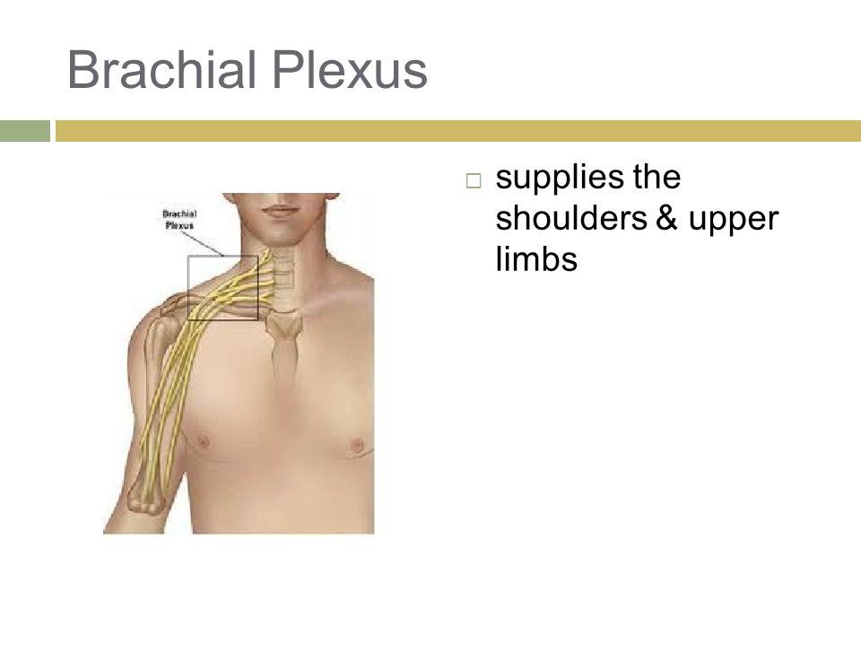 Brachial Plexus  supplies the shoulders & upper limbs