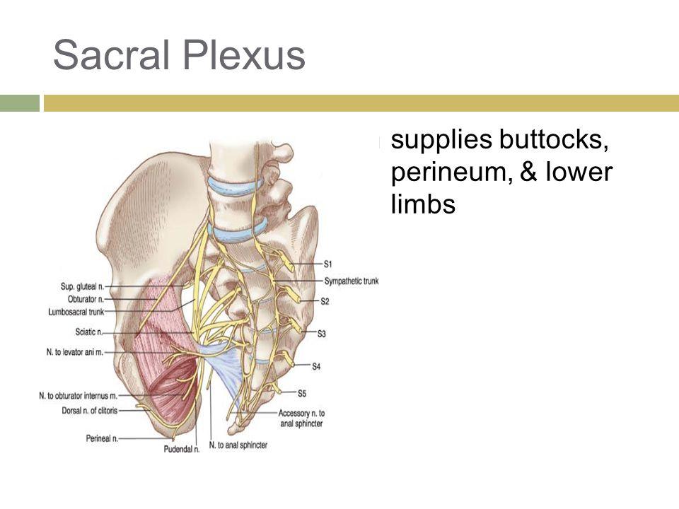 Sacral Plexus  supplies buttocks, perineum, & lower limbs