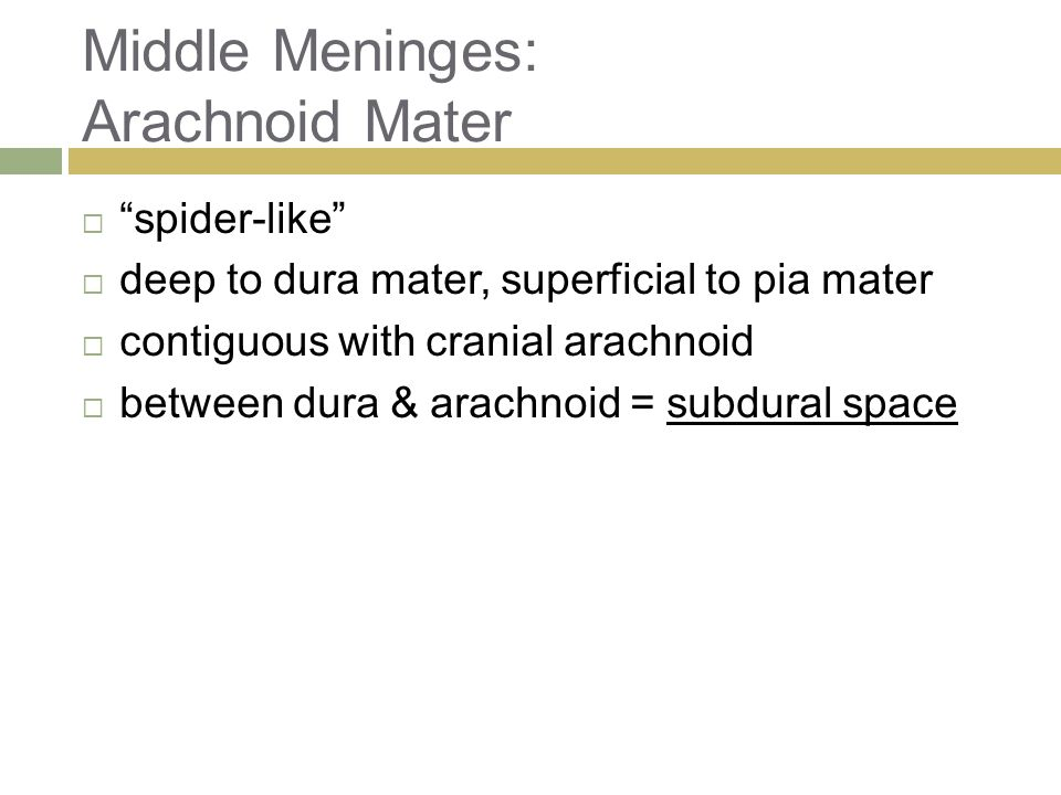 Middle Meninges: Arachnoid Mater  spider-like  deep to dura mater, superficial to pia mater  contiguous with cranial arachnoid  between dura & arachnoid = subdural space