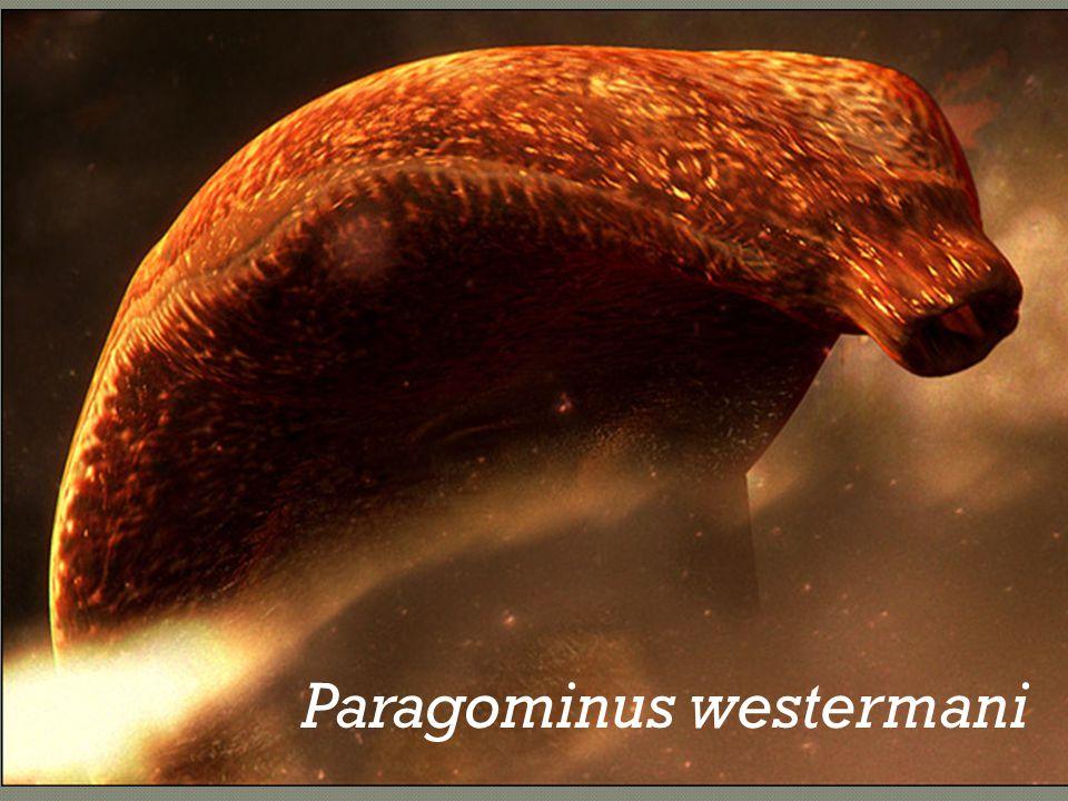 Paragominus westermani
