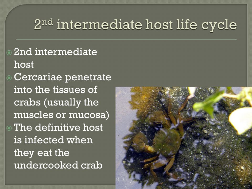  2nd intermediate host  Cercariae penetrate into the tissues of crabs (usually the muscles or mucosa)  The definitive host is infected when they eat the undercooked crab