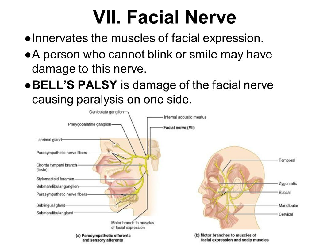 VII. Facial Nerve ● Innervates the muscles of facial expression. ● A person who cannot blink or smile may have damage to this nerve. ● BELL'S PALSY is