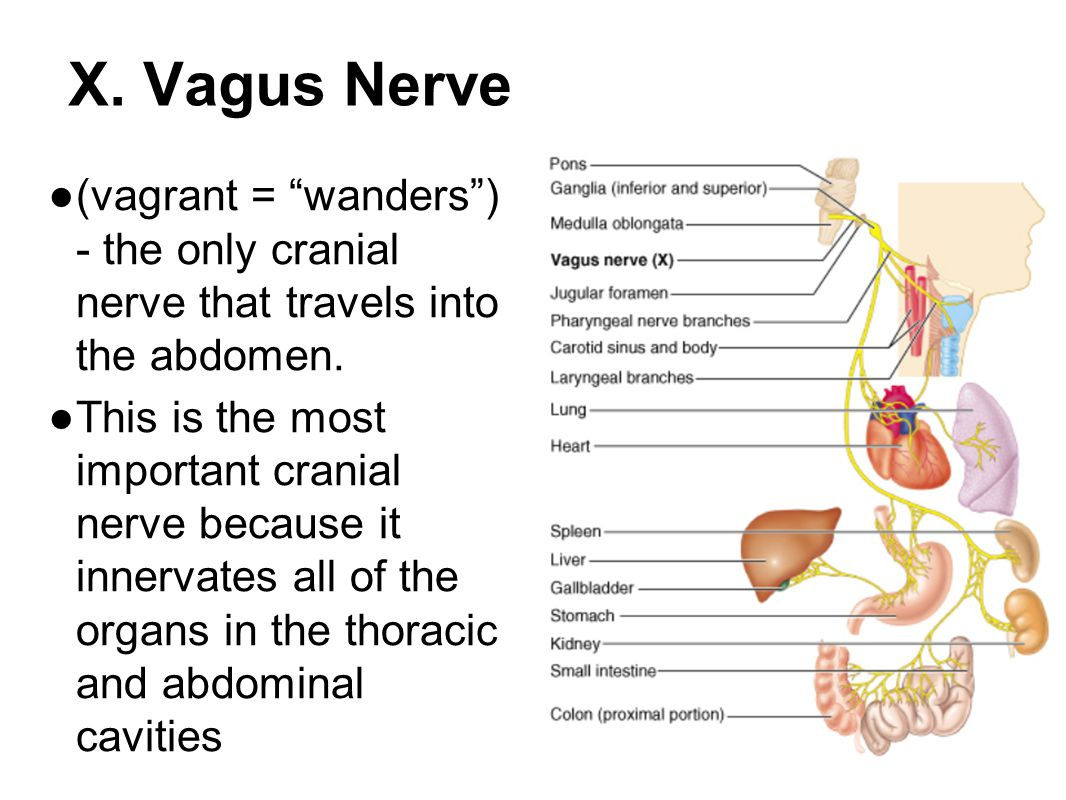 X. Vagus Nerve ● (vagrant = wanders ) - the only cranial nerve that travels into the abdomen.