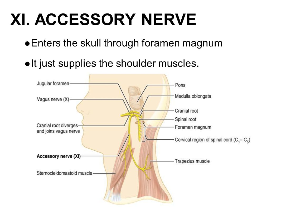 ● Enters the skull through foramen magnum ● It just supplies the shoulder muscles. XI. ACCESSORY NERVE