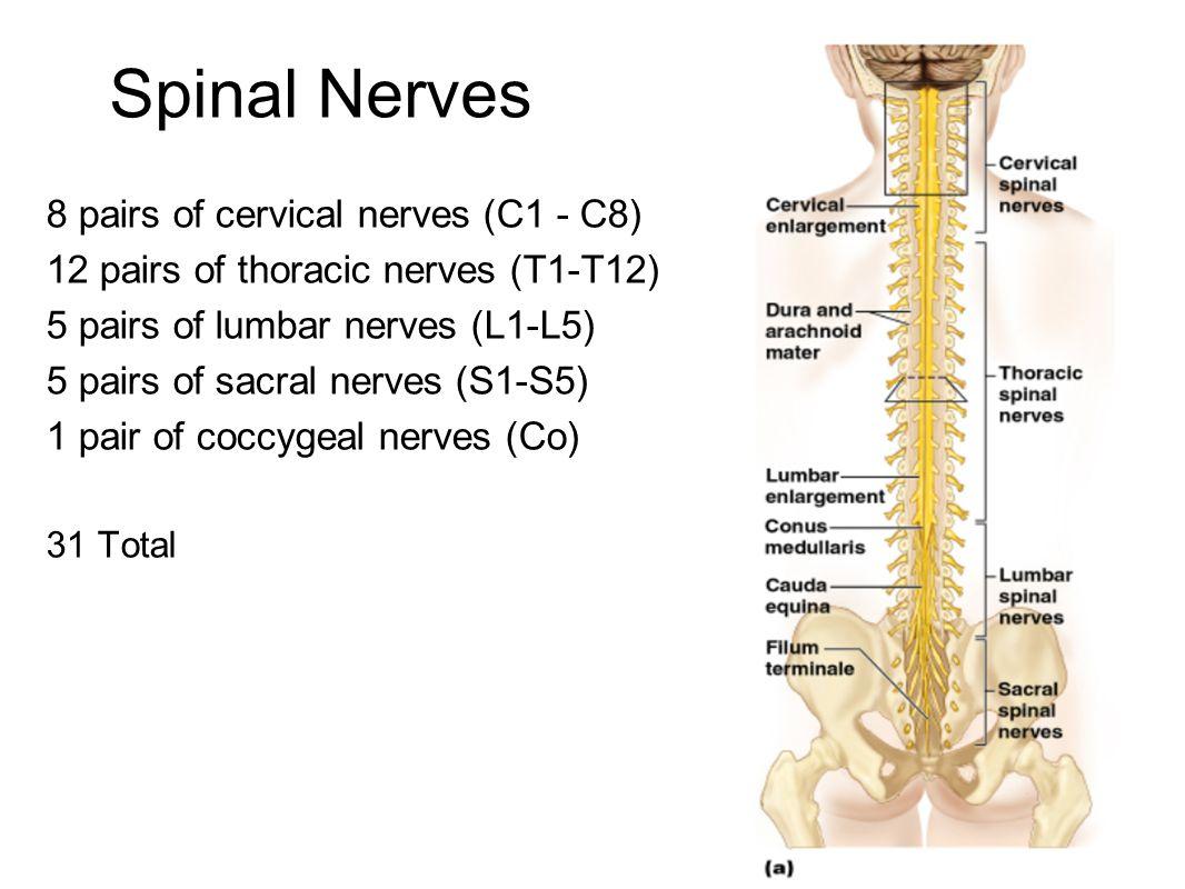 Spinal Nerves 8 pairs of cervical nerves (C1 - C8) 12 pairs of thoracic nerves (T1-T12) 5 pairs of lumbar nerves (L1-L5) 5 pairs of sacral nerves (S1-S5) 1 pair of coccygeal nerves (Co) 31 Total