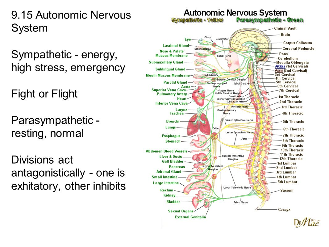 9.15 Autonomic Nervous System Sympathetic - energy, high stress, emergency Fight or Flight Parasympathetic - resting, normal Divisions act antagonistically - one is exhitatory, other inhibits