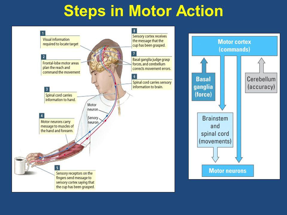 Steps in Motor Action