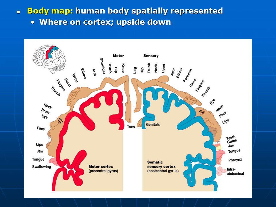 Body map: human body spatially represented Body map: human body spatially represented Where on cortex; upside downWhere on cortex; upside down
