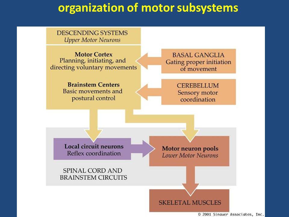 organization of motor subsystems