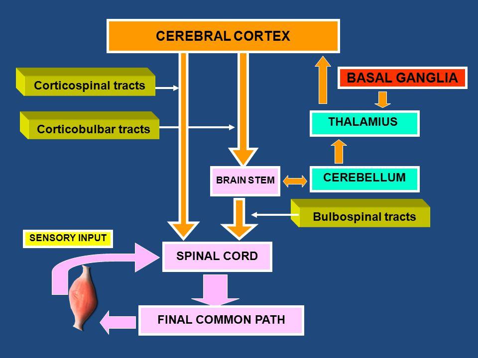 THALAMIUS BASAL GANGLIA BRAIN STEM Corticospinal tracts Corticobulbar tracts Bulbospinal tracts Cerebral Cortex CEREBRAL CORTEX CEREBELLUM SPINAL CORD FINAL COMMON PATH SENSORY INPUT