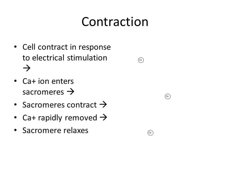 Contraction Cell contract in response to electrical stimulation  Ca+ ion enters sacromeres  Sacromeres contract  Ca+ rapidly removed  Sacromere relaxes Ca