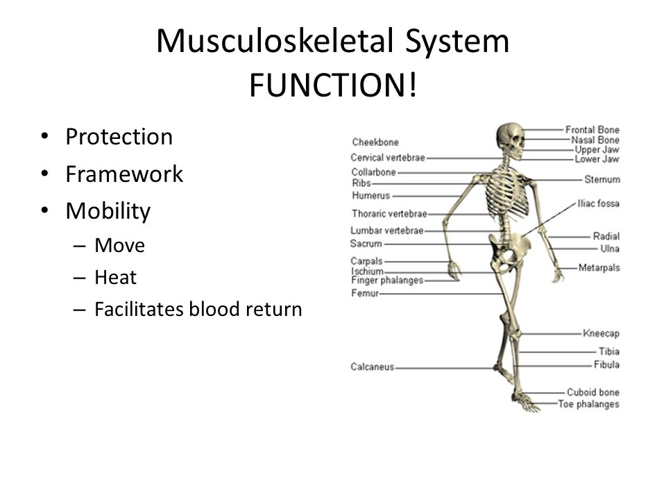 Small Group Questions 1.What are the 4 main functions of the M/S system.