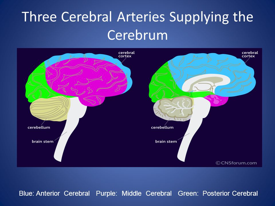 Three Cerebral Arteries Supplying the Cerebrum Blue: Anterior Cerebral Purple: Middle Cerebral Green: Posterior Cerebral