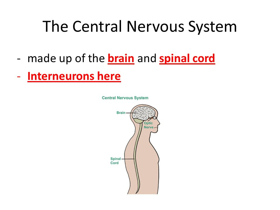 Types of Neurons: Pathway is always sensory ->inter->motor Sensory neuron: – Carries impulse from receptors (5 senses) to brain and spinal cord (CNS).