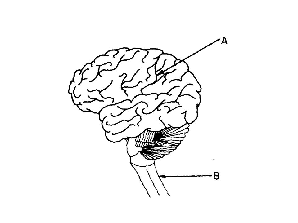 cerebellum: – Balance and motor coordination medulla: – connects spinal cord to the brain. – Controls involuntary activity: breathing, heart beat, dig