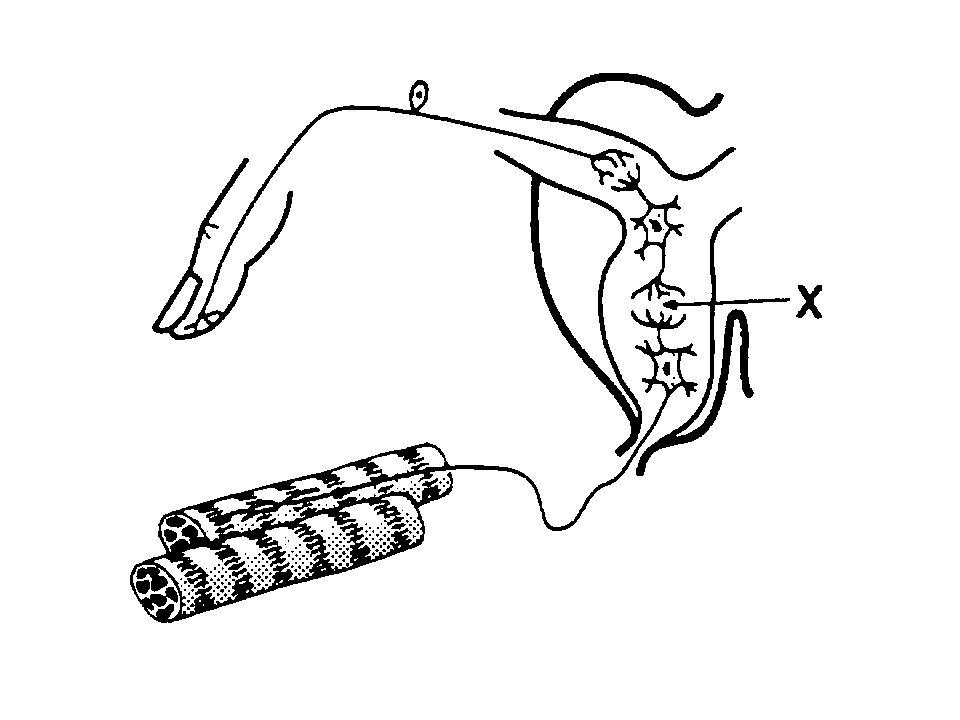 YouTube - Central Nervous System, Reflex Arc