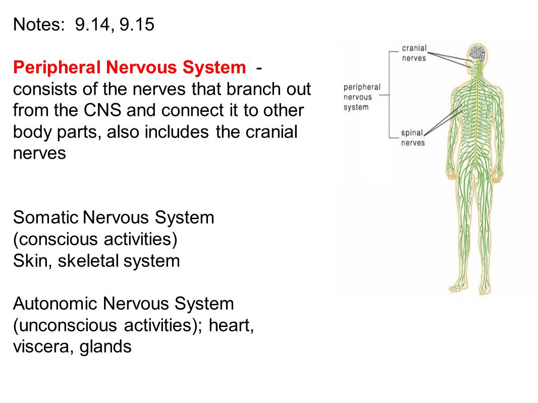 Notes: 9.14, 9.15 Peripheral Nervous System - consists of the nerves that branch out from the CNS and connect it to other body parts, also includes th