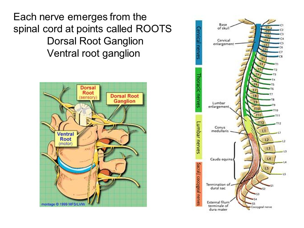 Each nerve emerges from the spinal cord at points called ROOTS Dorsal Root Ganglion Ventral root ganglion