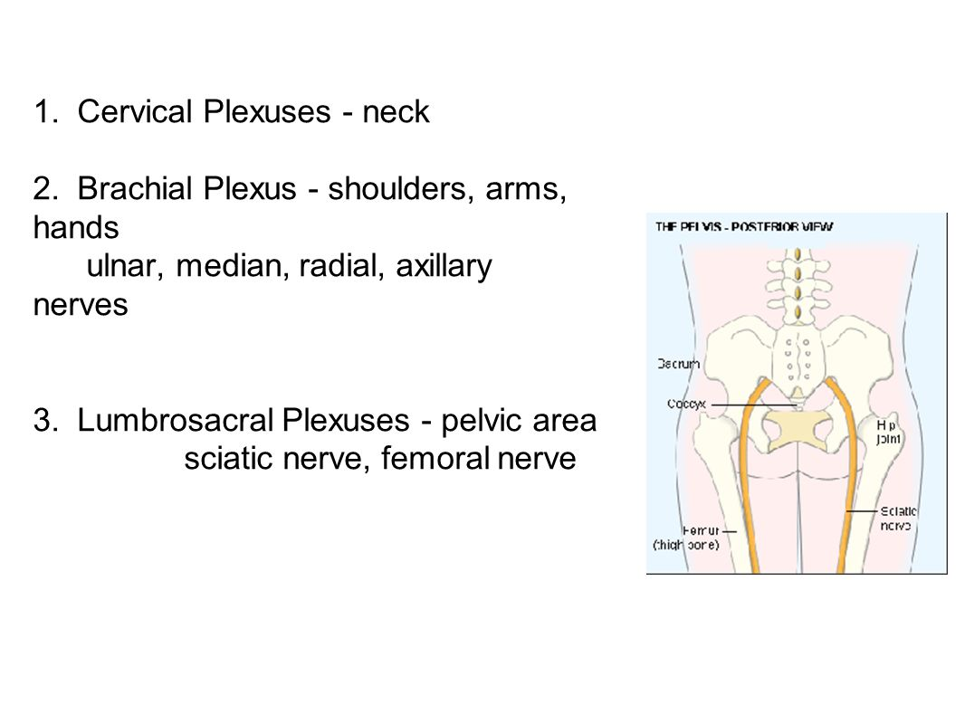 1. Cervical Plexuses - neck 2. Brachial Plexus - shoulders, arms, hands ulnar, median, radial, axillary nerves 3. Lumbrosacral Plexuses - pelvic area