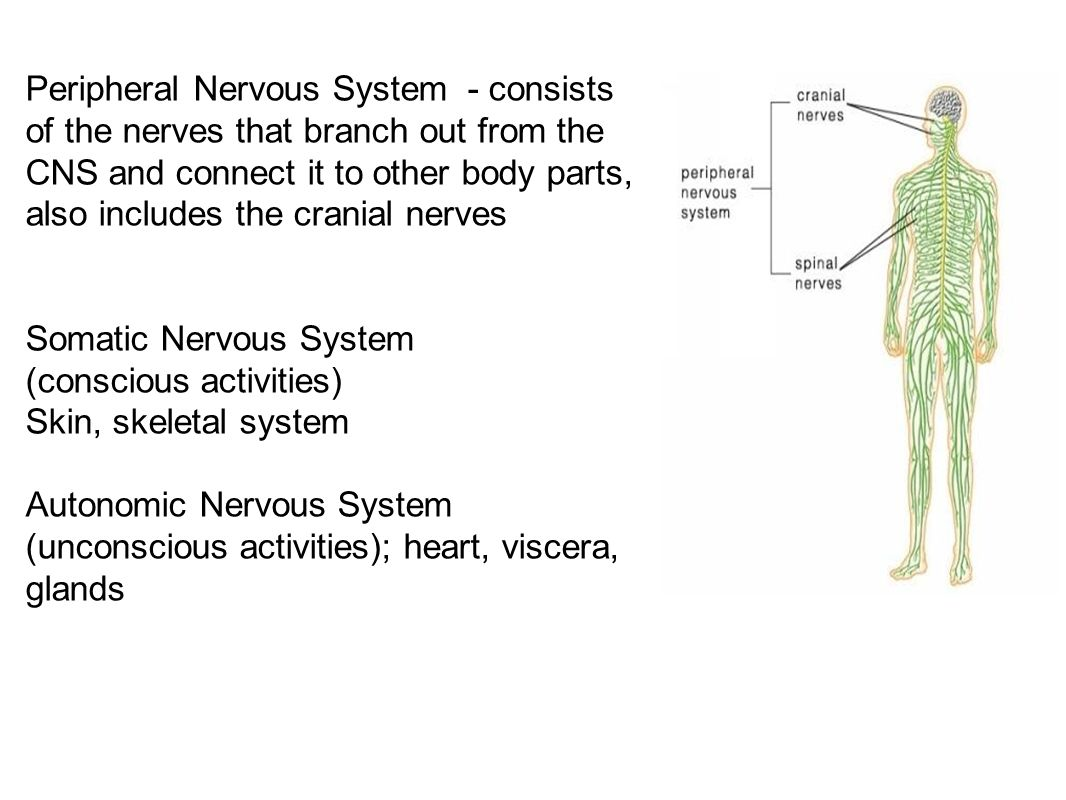 Peripheral Nervous System ● The spinal nerves comes out of the spine, and the cranial nerves come out of the brain directly.
