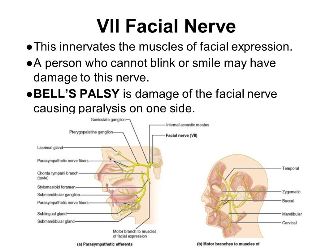 VII Facial Nerve ● This innervates the muscles of facial expression. ● A person who cannot blink or smile may have damage to this nerve. ● BELL'S PALS