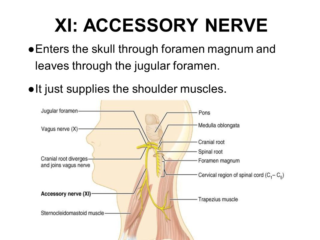 XI: ACCESSORY NERVE ● Enters the skull through foramen magnum and leaves through the jugular foramen. ● It just supplies the shoulder muscles.
