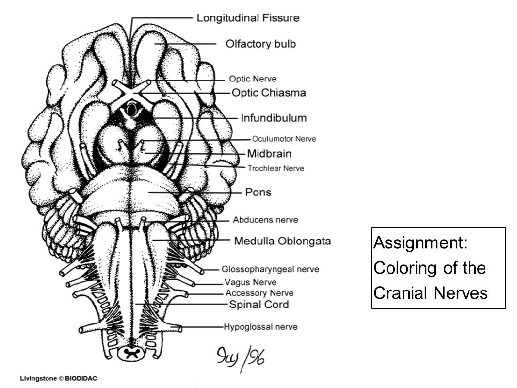 Assignment: Coloring of the Cranial Nerves