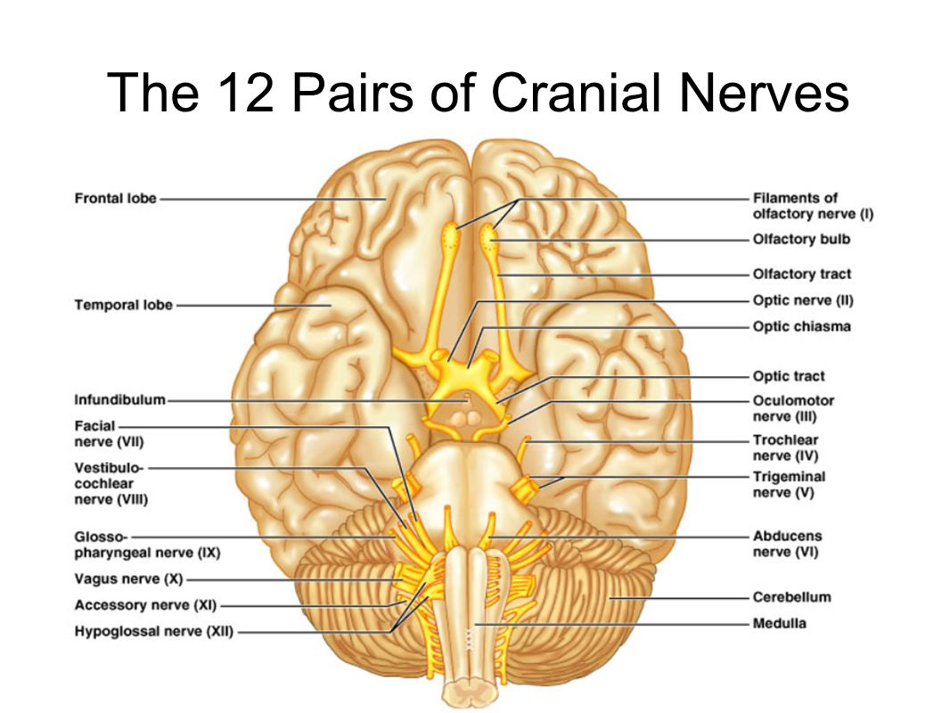 The 12 Pairs of Cranial Nerves Figure 14.8