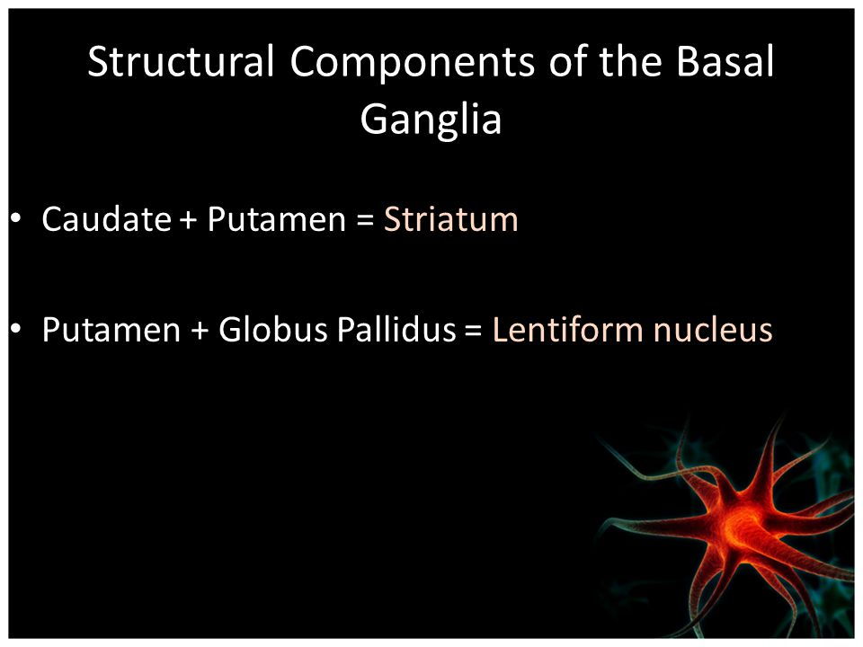 Structural Components of the Basal Ganglia Caudate + Putamen = Striatum Putamen + Globus Pallidus = Lentiform nucleus