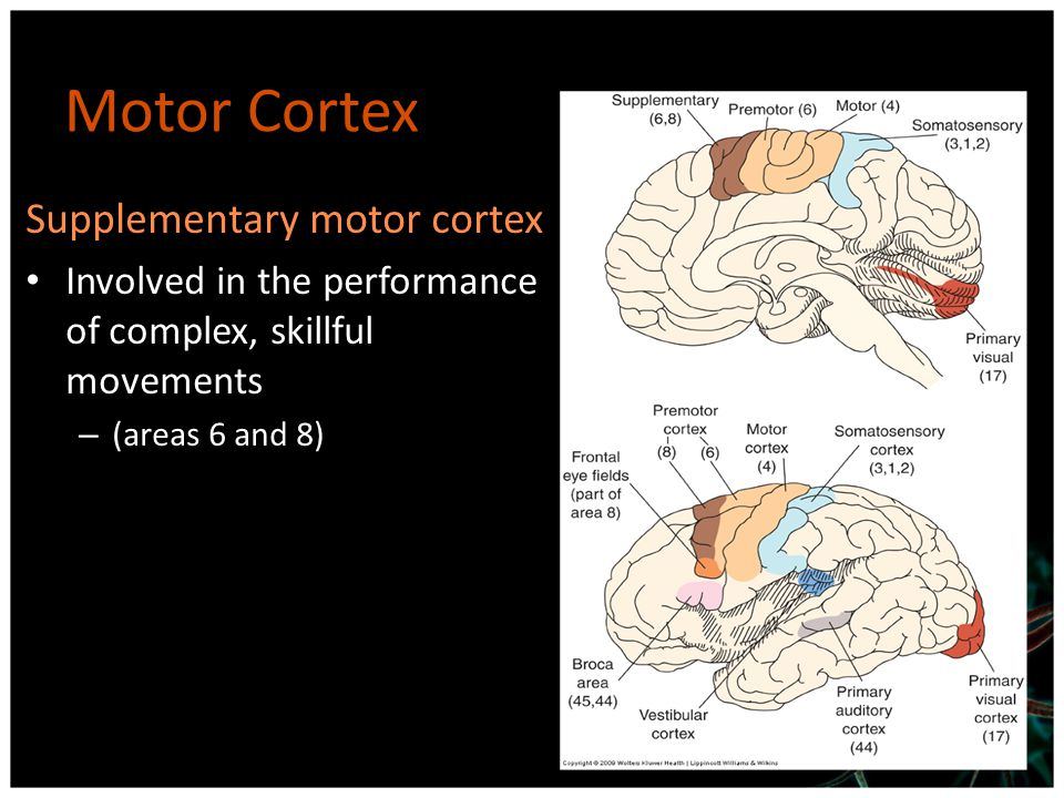 Motor Cortex Supplementary motor cortex Involved in the performance of complex, skillful movements – (areas 6 and 8)