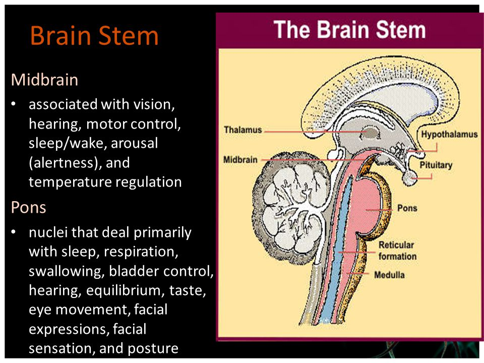 Brain Stem Medulla Contains the cardiac, respiratory, vomiting and vasomotor centers dealing with autonomic, involuntary functions – Breathing, heart rate and blood pressure