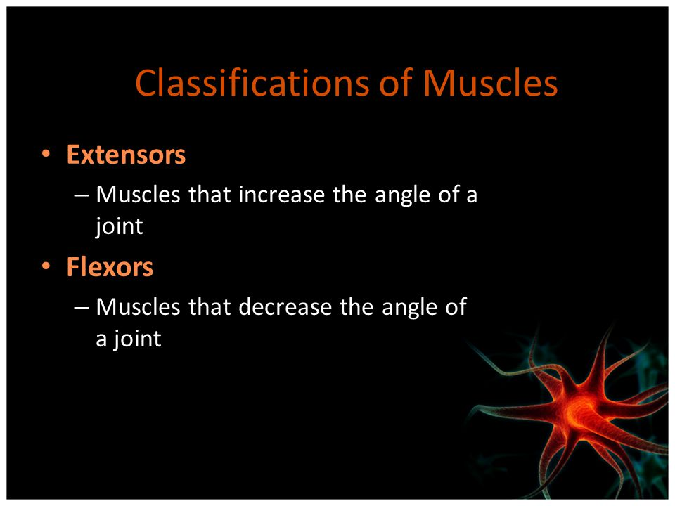 Classifications of Muscles Extensors – Muscles that increase the angle of a joint Flexors – Muscles that decrease the angle of a joint