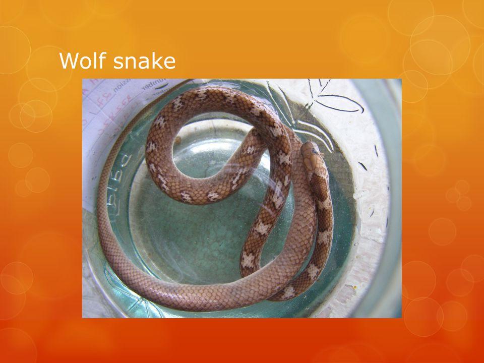 Wolf snake