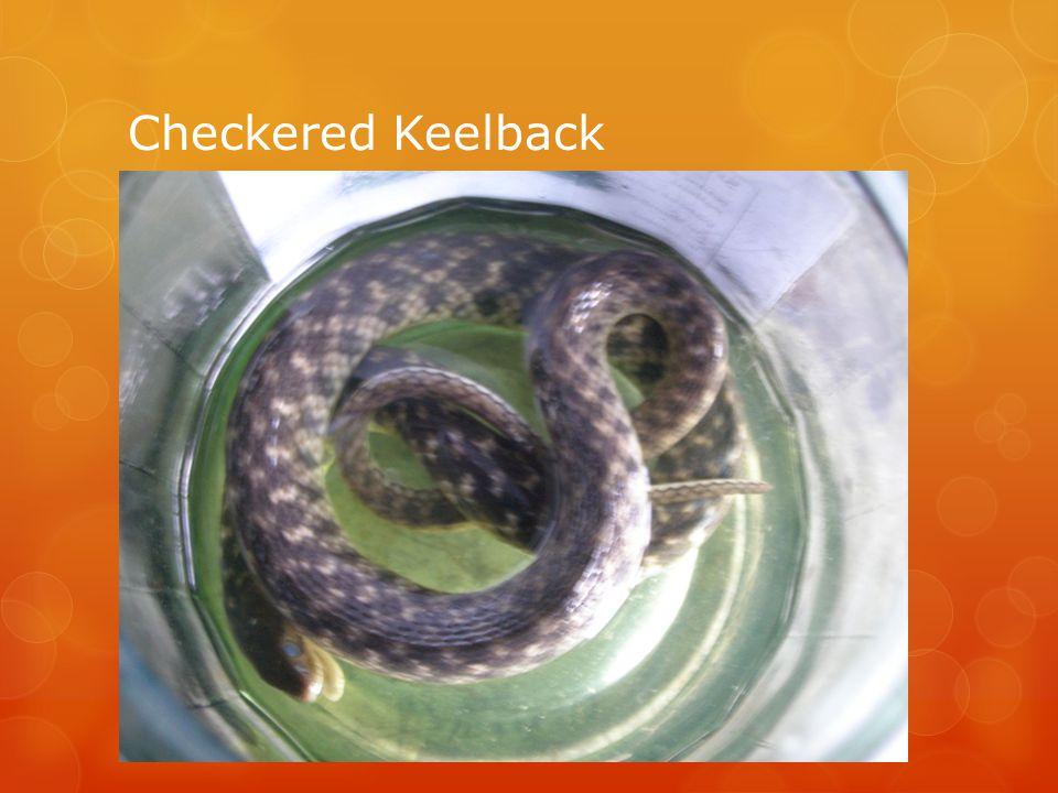Checkered Keelback
