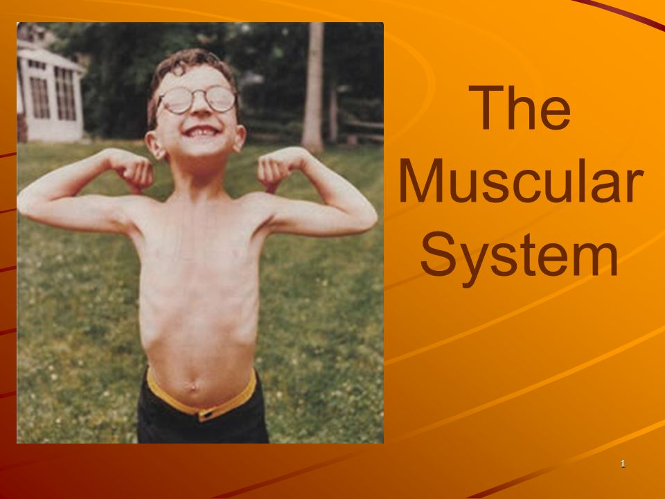 The Muscular System 1